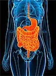 Healthy digestive system, artwork Stock Photo - Premium Royalty-Free, Artist: Minden Pictures, Code: 679-05798581