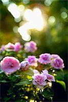 Roses, Ontario, Canada Stock Photo - Premium Royalty-Freenull, Code: 600-05800589