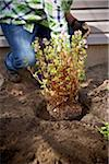 Gardener Planting Daphne Shrub, Toronto, Ontario, Canada Stock Photo - Premium Royalty-Free, Artist: Shannon Ross, Code: 600-05800598