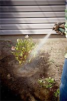 Gardener Watering freshly Planted Daphne Shrub, Toronto, Ontario, Canada Stock Photo - Premium Royalty-Freenull, Code: 600-05800599
