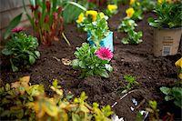 earth no people - Freshly Planted Cape Daisy, Toronto, Ontario, Canada Stock Photo - Premium Royalty-Freenull, Code: 600-05800610