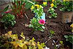 Freshly Planted Cape Daisy, Toronto, Ontario, Canada Stock Photo - Premium Royalty-Free, Artist: Shannon Ross, Code: 600-05800610