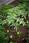 Tomato Plants in Garden, Toronto, Ontario, Canada Stock Photo - Premium Royalty-Free, Artist: Shannon Ross, Code: 600-05800619