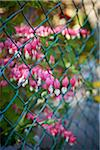 Bleeding Hearts Growing through Fence, Toronto, Ontario, Canada Stock Photo - Premium Royalty-Free, Artist: Shannon Ross, Code: 600-05800633