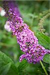 Buddleja Davidii, Toronto, Ontario, Canada Stock Photo - Premium Royalty-Free, Artist: Shannon Ross, Code: 600-05800638