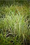 Ribbon Grass, Toronto Botanical Garden, Toronto, Ontario, Canada Stock Photo - Premium Royalty-Free, Artist: Shannon Ross, Code: 600-05800651