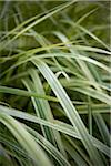 Close-up of Ribbon Grass, Toronto Botanical Gardens, Toronto, Ontario, Canada Stock Photo - Premium Royalty-Free, Artist: Shannon Ross, Code: 600-05800652