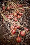 Red Onions in Garden in Autumn, Toronto, Ontario, Canada Stock Photo - Premium Royalty-Free, Artist: Shannon Ross, Code: 600-05800653