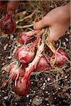 Gardener Harvesting Red Onions in Autumn, Toronto, Ontario, Canada Stock Photo - Premium Royalty-Free, Artist: Shannon Ross, Code: 600-05800655