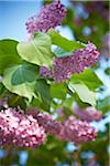 Close-up of Lilacs, Toronto, Ontario, Canada Stock Photo - Premium Royalty-Free, Artist: Shannon Ross, Code: 600-05800659