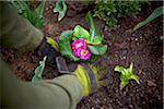 Gardener Planting Primula's in Garden, Toronto, Ontario, Canada Stock Photo - Premium Royalty-Free, Artist: Shannon Ross, Code: 600-05800663