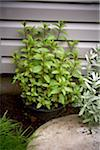 Potted Chocolate Mint in Garden, Toronto, Ontario, Canada Stock Photo - Premium Royalty-Free, Artist: Shannon Ross, Code: 600-05800665