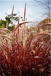 Fountain Grass, Toronto Botanical Garden, Toronto, Ontario, Canada Stock Photo - Premium Royalty-Free, Artist: Shannon Ross, Code: 600-05800668