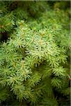 Close-up of Spruce Tree, Toronto Botanical Garden, Toronto, Ontario, Canada Stock Photo - Premium Royalty-Free, Artist: Shannon Ross, Code: 600-05800673