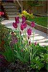 Tulips in Garden, Toronto, Ontario, Canada Stock Photo - Premium Royalty-Free, Artist: Shannon Ross, Code: 600-05800678