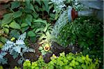 Gardener Watering freshly Planted Pansy, Toronto, Ontario, Canada Stock Photo - Premium Royalty-Free, Artist: Shannon Ross, Code: 600-05800681