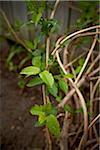 Close-up of Vine with new Leaves in Rain, Toronto, Ontario, Canada Stock Photo - Premium Royalty-Free, Artist: Shannon Ross, Code: 600-05800685