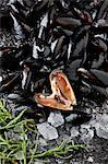 Bed of Mediterranean mussels Stock Photo - Premium Royalty-Free, Artist: Cultura RM, Code: 649-05802321
