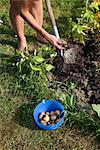 Close up of person harvesting potatoes in garden Stock Photo - Premium Royalty-Free, Artist: Blend Images, Code: 6102-05802604