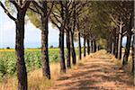 Pine Tree Lined Path, Grosseto, Tuscany, Italy Stock Photo - Premium Royalty-Free, Artist: F. Lukasseck, Code: 600-05803086