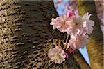 Cherry Blossoms in Spring, Franconia, Bavaria, Germany