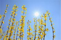 spring flowers - Blooming Forsythia with Sun, Franconia, Bavaria, Germany Stock Photo - Premium Royalty-Freenull, Code: 600-05803197