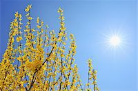 spring flowers - Blooming Forsythia with Sun, Franconia, Bavaria, Germany Stock Photo - Premium Royalty-Freenull, Code: 600-05803198