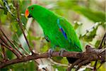 Male Eclectus Parrot Australia Zoo Aviary Stock Photo - Premium Royalty-Free, Artist: Westend61, Code: 6106-05810819