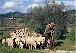 Shepherd leading his flock Stock Photo - Premium Rights-Managed, Artist: Photocuisine, Code: 825-05812600
