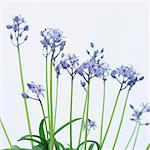 Blue flowers, Scilla Stock Photo - Premium Royalty-Free, Artist: Westend61, Code: 628-05818006