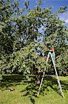 Woman pruning trees on ladder Stock Photo - Premium Royalty-Free, Artist: Robert Harding Images, Code: 649-05819802