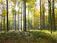 Sun shining through trees in forest Stock Photo - Premium Royalty-Freenull, Code: 649-05820053