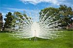 White peacock standing in meadow Stock Photo - Premium Royalty-Free, Artist: Blend Images, Code: 649-05821345