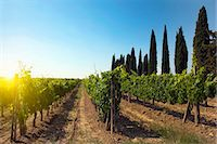 Rows of grapes growing in vineyard Stock Photo - Premium Royalty-Freenull, Code: 649-05821600