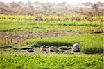 Farmer in Field, Dakhla Oasis,  Egypt Stock Photo - Premium Rights-Managed, Artist: Ikonica, Code: 700-05821792