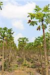 Papaya Trees on Plantation, Mamao, Camaratuba, Paraiba, Brazil Stock Photo - Premium Rights-Managed, Artist: Jean-Yves Bruel, Code: 700-05821837