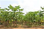 Papaya Trees on Plantation, Mamao, Camaratuba, Paraiba, Brazil Stock Photo - Premium Rights-Managed, Artist: Jean-Yves Bruel, Code: 700-05821840