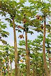 Papaya Trees on Plantation, Mamao, Camaratuba, Paraiba, Brazil Stock Photo - Premium Rights-Managed, Artist: Jean-Yves Bruel, Code: 700-05821842