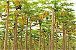 Papaya Trees on Plantation, Mamao, Camaratuba, Paraiba, Brazil Stock Photo - Premium Rights-Managed, Artist: Jean-Yves Bruel, Code: 700-05821843