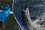 Catching Sockeye Salmon in Net Stock Photo - Premium Rights-Managed, Artist: Michael Mahovlich, Code: 700-05822053