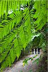 Giant Fern, Kinsakubaru Primary Forest, Amami Oshima, Amami Islands, Kagoshima Prefecture, Japan Stock Photo - Premium Rights-Managed, Artist: R. Ian Lloyd, Code: 700-05837451