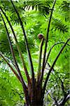 Giant Fern, Kinsakubaru Primary Forest, Amami Oshima, Amami Islands, Kagoshima Prefecture, Japan Stock Photo - Premium Rights-Managed, Artist: R. Ian Lloyd, Code: 700-05837453