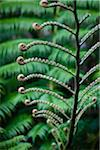Giant Fern, Kinsakubaru Primary Forest, Amami Oshima, Amami Islands, Kagoshima Prefecture, Japan Stock Photo - Premium Rights-Managed, Artist: R. Ian Lloyd, Code: 700-05837455