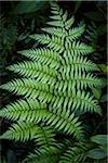 Fern, Kinsakubaru Primary Forest, Amami Oshima, Amami Islands, Kagoshima Prefecture, Japan Stock Photo - Premium Rights-Managed, Artist: R. Ian Lloyd, Code: 700-05837457