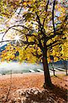 Chestnut Tree in Autumn, Lake Hintersee, Bavaria, Germany Stock Photo - Premium Royalty-Free, Artist: F. Lukasseck, Code: 600-05837553