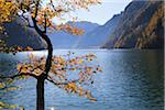 Beech Tree in Autumn, Lake Koenigssee, Berchtesgadener Land, Bavaria, Germany Stock Photo - Premium Royalty-Free, Artist: F. Lukasseck, Code: 600-05837563