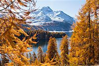 fall trees lake - Larch Trees by Lake Sils and Piz de la Margna, Engadin, Switzerland Stock Photo - Premium Royalty-Freenull, Code: 600-05837568