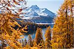 Larch Trees by Lake Sils and Piz de la Margna, Engadin, Switzerland Stock Photo - Premium Royalty-Free, Artist: F. Lukasseck, Code: 600-05837568