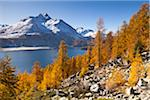 Larch Trees by Lake Sils and Piz de la Margna, Engadin, Switzerland Stock Photo - Premium Royalty-Free, Artist: F. Lukasseck, Code: 600-05837578