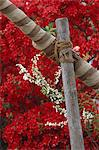 Tied wooden poles in front of red flowers Stock Photo - Premium Rights-Managed, Artist: Arcaid, Code: 845-05838909